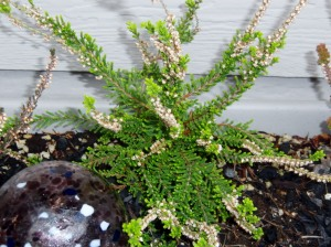 New growth on the heather. Yay!