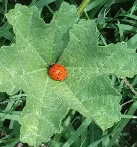 In my son's yard. Weeds have their place in nature. I'm looking forward to my own...ladybugs.