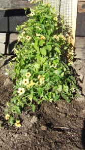 I didn't know Black Eyed Susan's could be a vine. They will need a trellis I think.