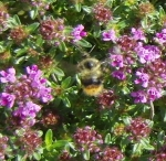 bee in groundcover