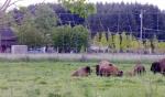bison around baby