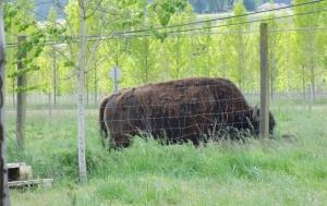 bison close