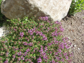 blooming ground cover. Can you see the bee?