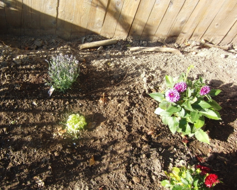 Some lavender, dahlia's and ground cover plus some lantana for the butterflies