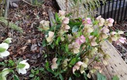 The Hellebore were the first to bloom