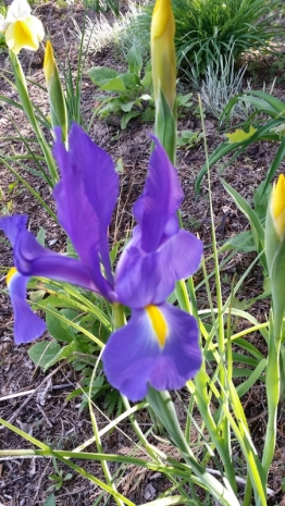 The Iris popped up one at a time.