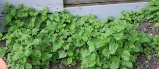 Lemon balm grows under a tree like a weed.