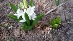 white hyacynth