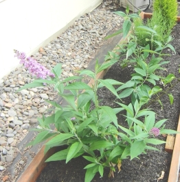 A good friend gave me some starts of butterfly bushes. They are doing well here.