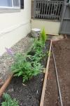 butterfly bush lavender