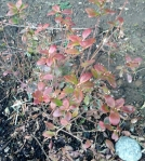 blueberry-with-new-leaves-feb-12-17