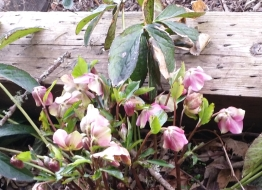 Hellebore in bloom already