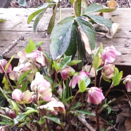 Hellebore in bloom already