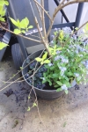 forsythia in a pot