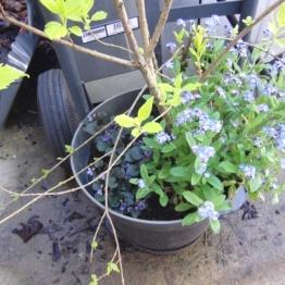 Forsythia in the pot