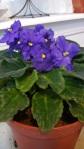 African Violet in thekitchen