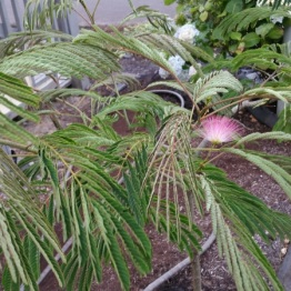 First flower on the Albizia