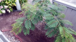 Albizia is the name my son had for this tree.