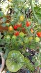 tomatoes 17