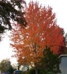 fall tree oct17