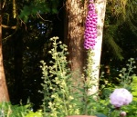 foxglove and weed june2018