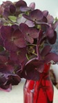 closer fall hydranea