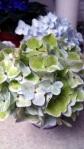 spring hydrangia