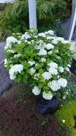 Hydrangea and Albizia tree.