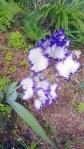 iris in weeds