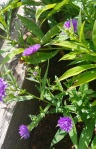 asters more