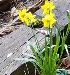 back of daffodils