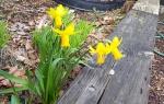 daffodils march 2021